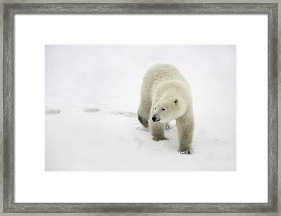 Polar Bear Walking Framed Print by Richard Wear