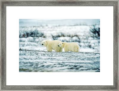 Polar Bears, Churchill, Manitoba Framed Print by Mike Grandmailson