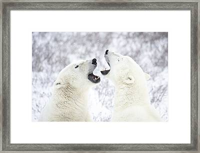 Polar Bears Playing In The Snow Framed Print by Chris Hendrickson