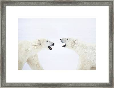 Polar Bears Standing On Snow After Playing Framed Print by Chris Hendrickson