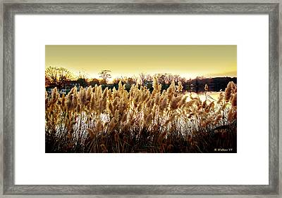 Pond Grasses Framed Print by Brian Wallace