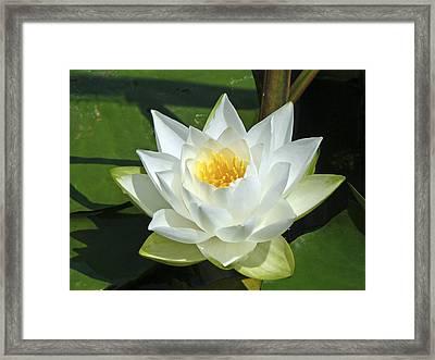 Pond Lily Framed Print by Pamela Patch
