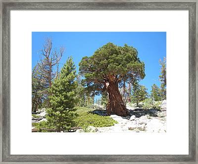 Ponderosa Pine Framed Print by Kirk Williams