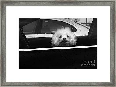 Poodle In A Car Framed Print by Susan Isakson