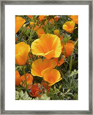 Poppies (eschscholzia Californica) Framed Print by Tony Craddock