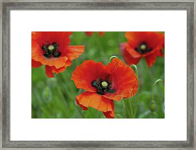 Poppies Framed Print by Photo by Judepics