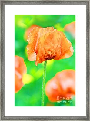 Poppy Flowers In May Framed Print by Anita Antonia Nowack