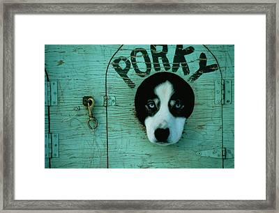Porky Is One Of Jan Masseks Race Dogs Framed Print by Chris Johns