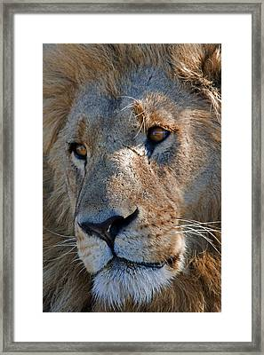 Portrait Of A Male African Lion Framed Print by Beverly Joubert