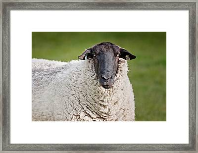 Portrait Of A Sheep Framed Print by Greg Nyquist