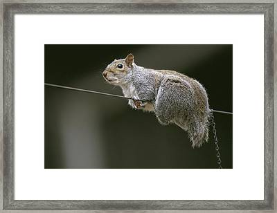 Portrait Of An Eastern Gray Squirrel Framed Print by Chris Johns