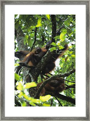 Portrait Of An Orangutan With Her Two Framed Print by Tim Laman