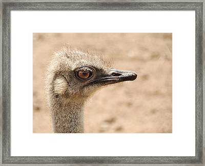 Portrait Of An  Ostrich Framed Print by Laura Melis