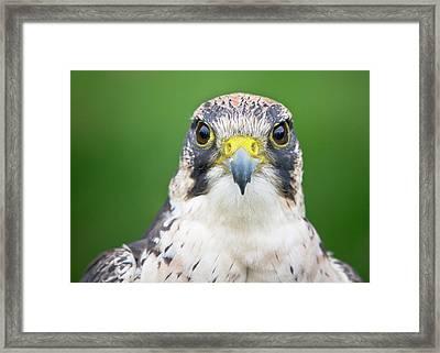 Portrait Of Peregrine Falcon Framed Print by Michal Baran