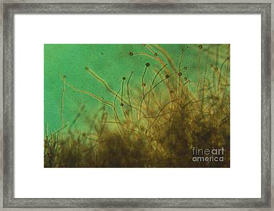 Potato Blight Mold Lm Framed Print by Eric V. Grave