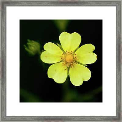 Potentilla Framed Print by Michelle Shinners