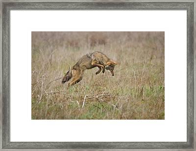 Pounce Framed Print by Carl Jackson
