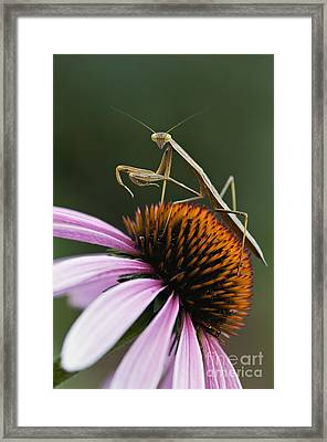 Praying Mantis And Coneflower - D008024 Framed Print by Daniel Dempster