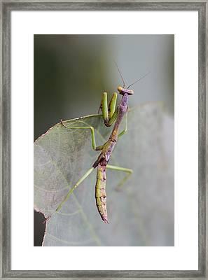 praying Mantis Framed Print by Craig Lapsley