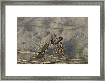 Praying Mantis Eating A Butterfly Framed Print by Darlyne A. Murawski
