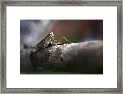 Praying Mantis Framed Print by Lisa Sorrell