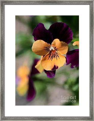Prettiest Pansy Framed Print by Sabrina L Ryan