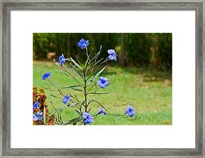 Pretty Blue Flowers Framed Print by David Alexander