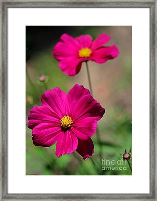 Pretty Cosmos Flowers Framed Print by Sabrina L Ryan