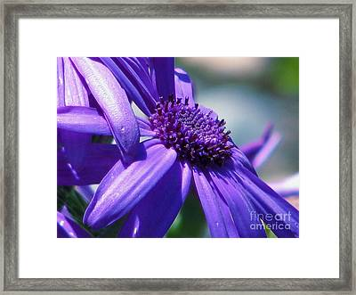 Pretty In Pericallis Framed Print by Rory Sagner