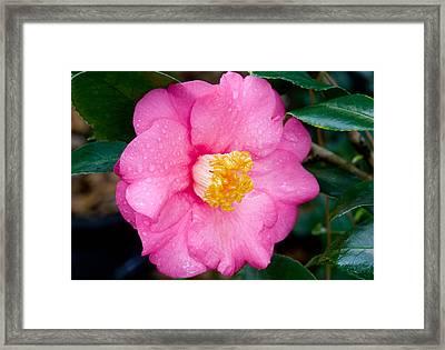 Pretty In Pink 2 Framed Print by Rich Franco