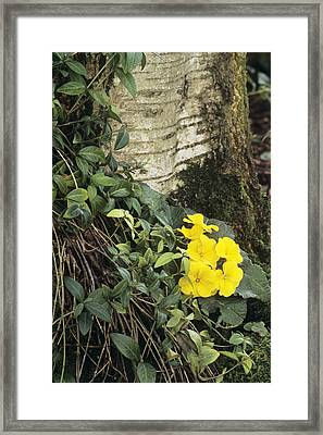 Primula 'wanda' And Vinca Minor Framed Print by Archie Young