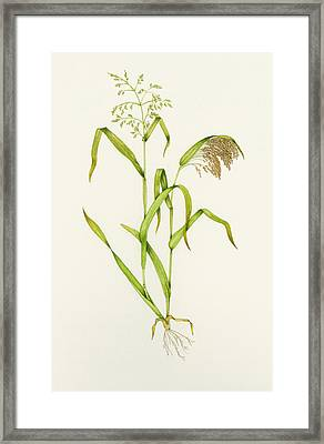 Proso Millet (panicum Miliaceum), Artwork Framed Print by Lizzie Harper