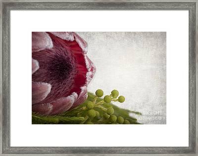 Protea Framed Print by Jane Rix