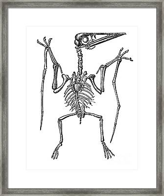 Pterodactylus, Extinct Flying Reptile Framed Print by Science Source