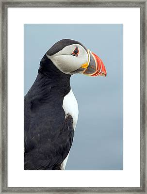 Puffin Of Lunga Framed Print by Fiona Messenger