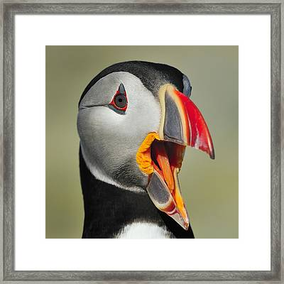 Puffin Portrait Framed Print by Tony Beck