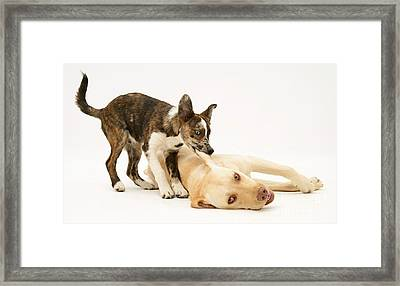 Pup Biting Lab On The Ear Framed Print by Mark Taylor