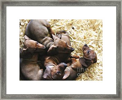 Puppies Framed Print by Brian  Seidenfrau