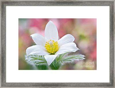 Pure Pasque Framed Print by Jacky Parker