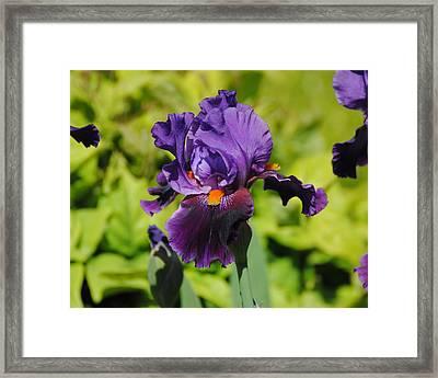 Purple And Orange Iris Flower Framed Print by Jai Johnson