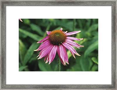 Purple Coneflower Framed Print by Duncan Smith