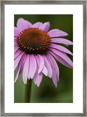 Purple Coneflower Framed Print by Jason Pryor