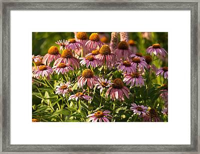 Purple Coneflower Framed Print by Steve Gadomski