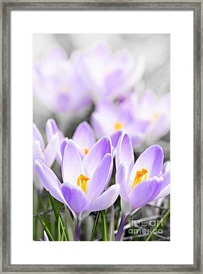 Purple Crocus Blossoms Framed Print by Elena Elisseeva