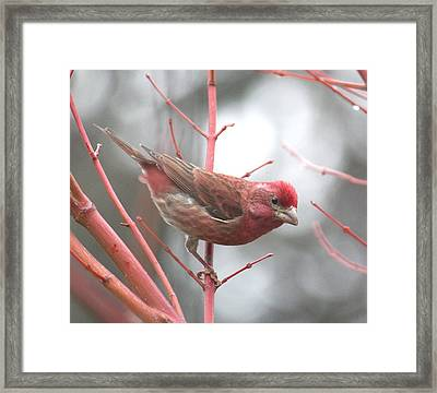 Purple Finch Framed Print by Angie Vogel