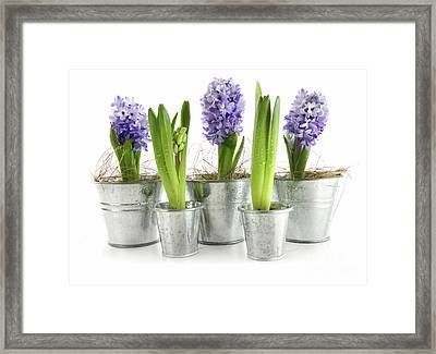 Purple Hyacinths Framed Print by Sandra Cunningham