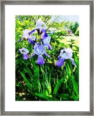 Purple Irises In Suburbs Framed Print by Susan Savad