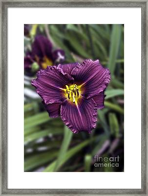 Purple Lilly Framed Print by Jim Chamberlain