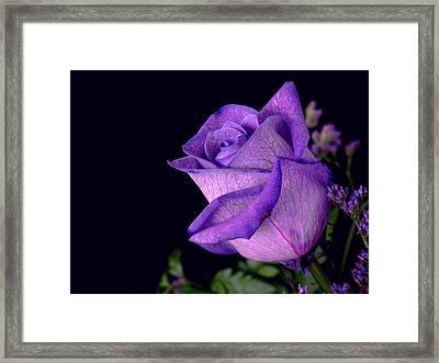 Purple Rose Framed Print by Darren Fisher