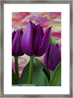 Purple Tulips Framed Print by Garry Gay